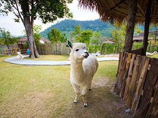 Alpaca Hill, Swiss Sheep Farm