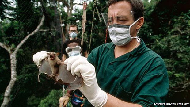 ค้างคาวผลไม้ พาหะเชื้ออีโบลา