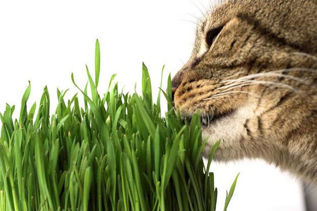 ปลูก Catnip