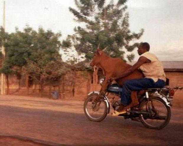Africa มอเตอร์ไซค์ ขนวัว
