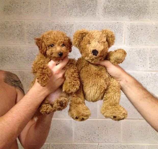 ภาพเหมือน น้องหมา หมีเทดดี้