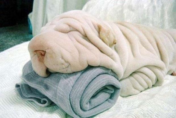 ภาพเหมือน หมาหน้าย่น ผ้าย่น