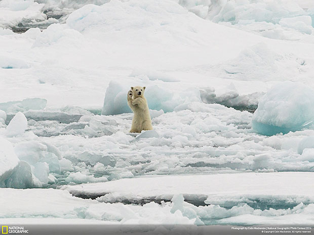 National Geographic Photo Contest 2014 Arctic Hi five