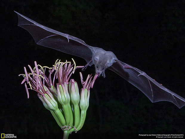 National Geographic Photo Contest 2014 Mexican Long Nosed Bat