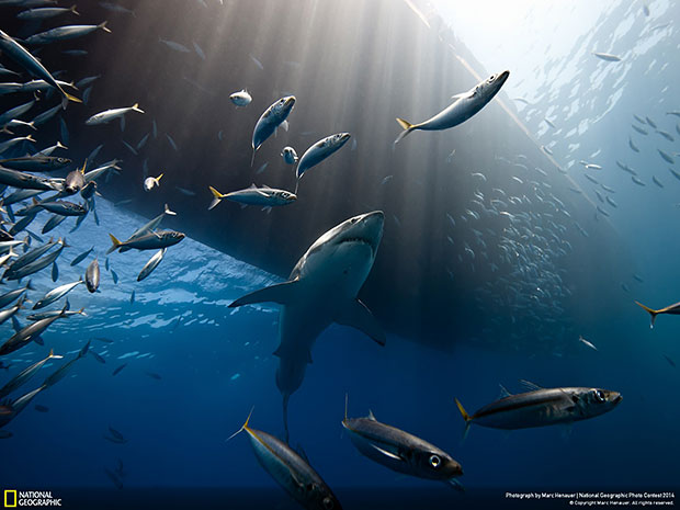 National Geographic Photo Contest 2014 The Lord of The Ocean