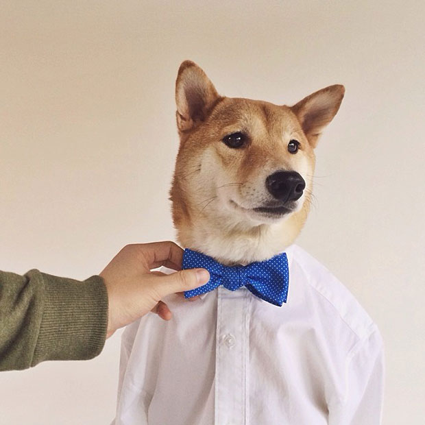 หมา Bodhi เสื้อเชิ้ตขาว ผูกโบว์น้ำเงิน