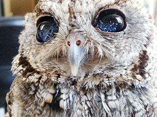Zeus นกฮูกตาบอด มีรูปหมู่ดาวในดวงตา