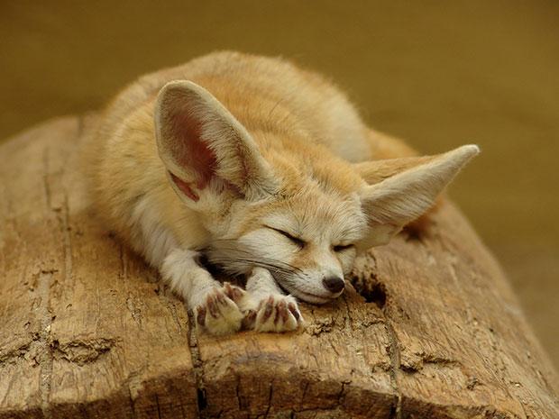 จิ้งจอกทะเลทราย Fennec Fox