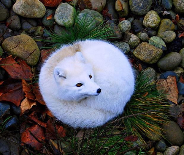 จิ้งจอกอาร์กติก Arctic Fox