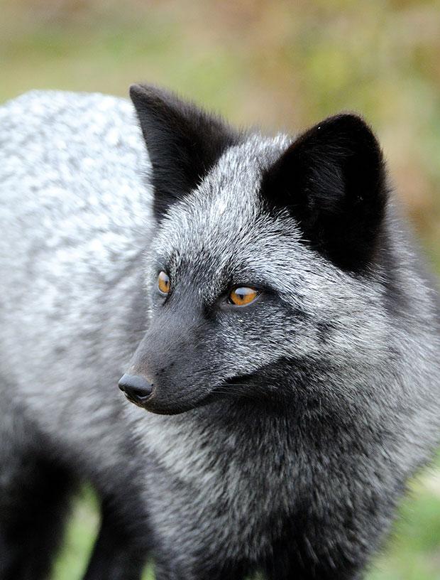 จิ้งจอกเงิน Silver Fox