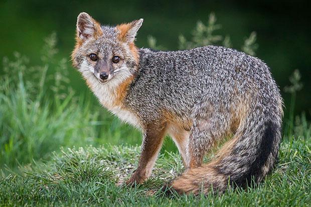 จิ้งจอกเทา Gray Fox