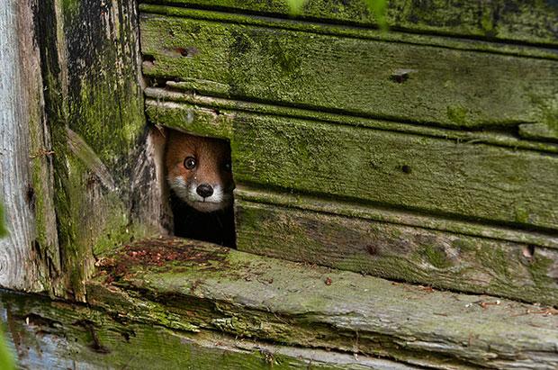 จิ้งจอกแดง Red Fox