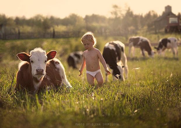 ภาพถ่ายเด็กและวัว