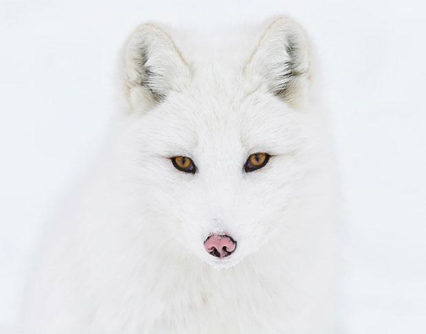 Arctic Fox จิ้งจอกอาร์กติก