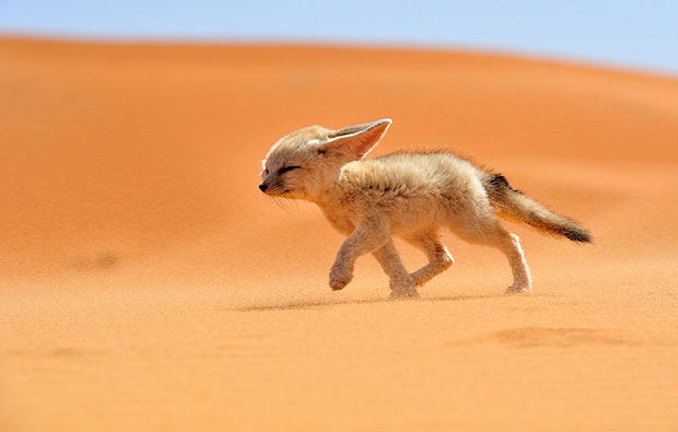 Fennec Fox จิ้งจอกทะเลทราย