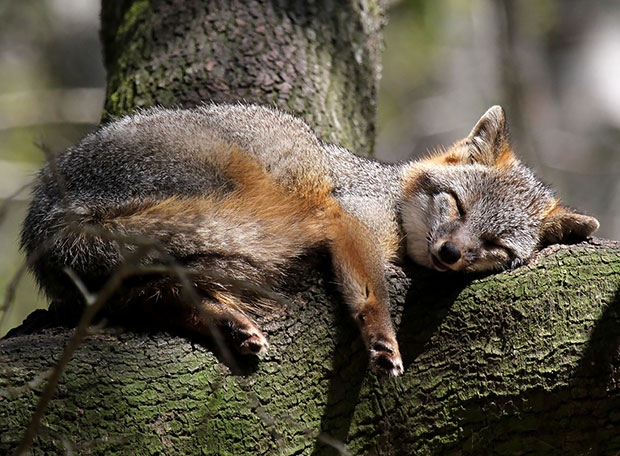 Gray Fox จิ้งจอกเทา