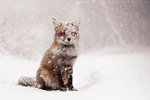 Red Fox สุนัขจิ้งจอกแดง
