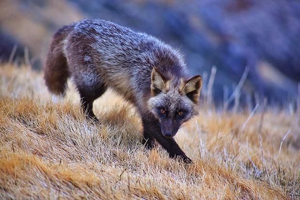 Silver Fox จิ้งจอกเงิน