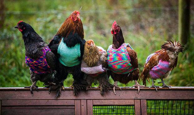 หญิงสาวถักเสื้อไหมพรมเพื่อเพิ่มความอบอุ่นให้ไก่
