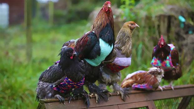 หญิงสาวน้ำใจงามถักเสื้อไหมพรมเพื่อเพิ่มความอบอุ่นให้กับไก่