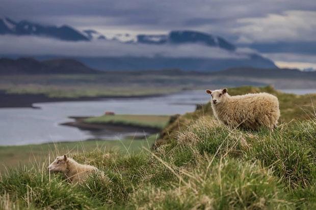 เดินทางไปถ่ายรูปแกะป่าในไอซ์แลนด์