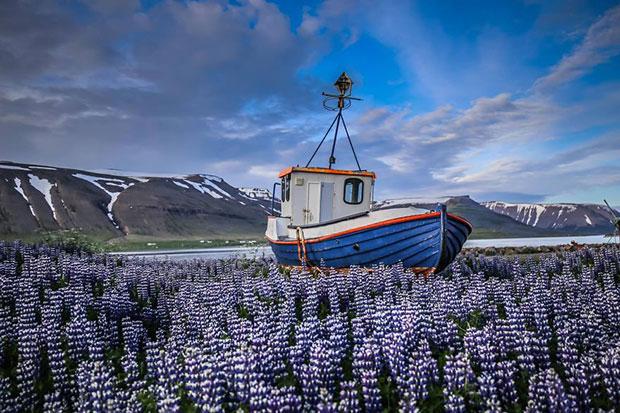 เดินทางไปทุ่งดอกลูพินในไอซ์แลนด์