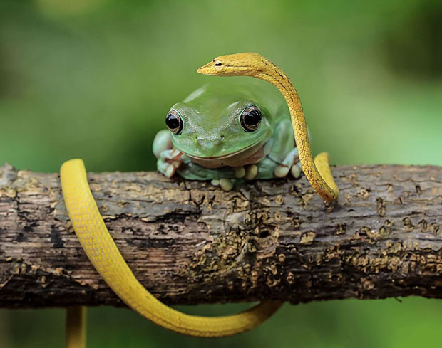 กบกับงู