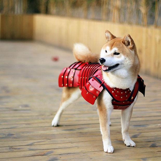 บริษัทสัญชาติญี่ปุ่นผลิตเสื้อเกราะซามูไรสำหรับหมาและแมว