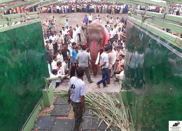 ช้างแก่ถูกล่ามโซ่และทารุณมานานกว่า 50 ปี ในที่สุด Wildlife SOS ก็เข้ามาช่วยเหลือ