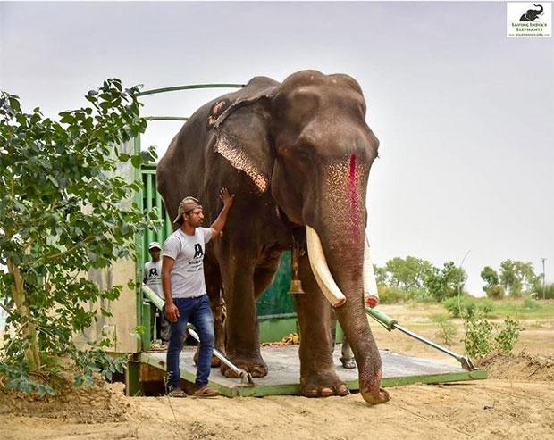 ช้างแก่ถูกล่ามโซ่และทารุณมานานกว่า 50 ปี