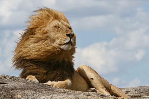 ทำตัวเหมือนสิงโตจะช่วยให้ทำงานประสบความสำเร็จ