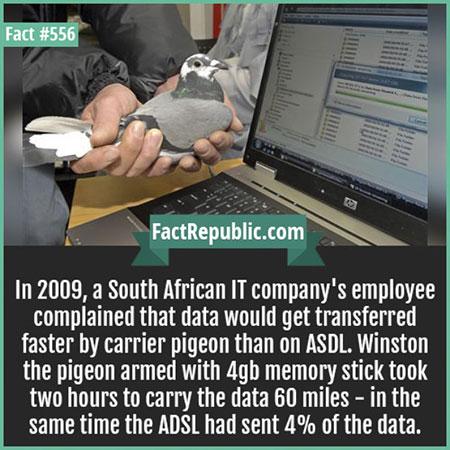 นกพิราบสื่อสารสามารถส่งข้อมูลได้เร็ว ADSL