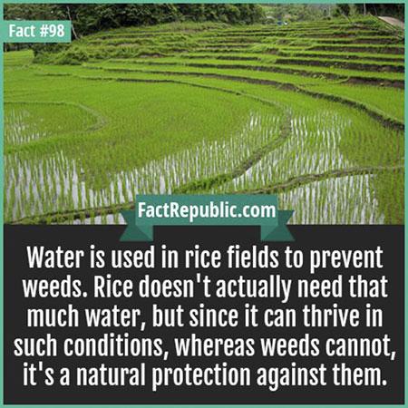 น้ำในนาข้าวมีไว้เพื่อป้องกันวัชพืช
